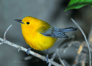 Prothonotary Warbler 0950