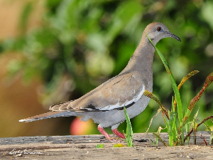 W-winged Dove 6650