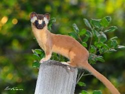 Long-tailed Weasel 2642
